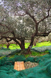Picking up olives. In a grove on the island of Crete Stock Photo