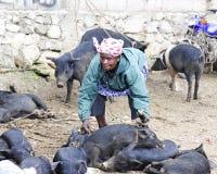 Picking Up Piggies Royalty Free Stock Photos