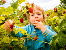 Picking up raspberries Royalty Free Stock Images