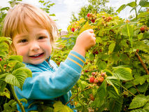 Picking up raspberries Stock Photography