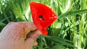 Picking up a red poppy. In the middle of a green wheat field with my hand colored by the henna Stock Photo