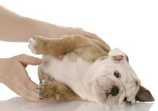 Picking up a small puppy Royalty Free Stock Image