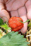 Picking up strawberry Stock Photography