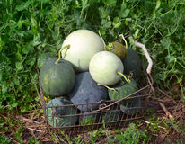 Picking watermelons in the village stock photo