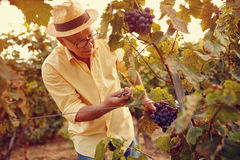 Picking white grapes in vineyard stock photography
