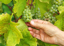 Picking White Wine Grapes Royalty Free Stock Image