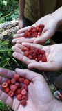Picking wild berries in the forest stock photo