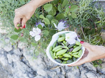 Picking wild capers Royalty Free Stock Image