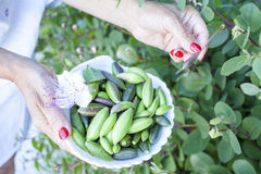 Picking wild capers Royalty Free Stock Photo