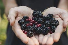 Picking wild fruits Stock Photo