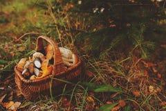 Picking wild mushrooms in autumn forest. basket full of mushrooms Stock Photos
