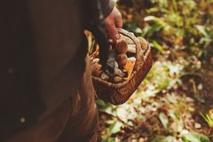 picking wild mushrooms in autumn forest. Hand holding basket full of mushrooms Royalty Free Stock Photos