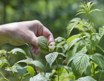 Picking wild raspberries in the woods Stock Images