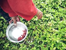Picking wild strawberries.  Stock Image