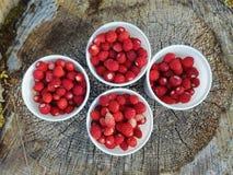 Picking wild strawberries stock images
