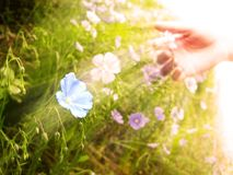 Picking Wildflowers in Meadow Early Morning Sunlig Royalty Free Stock Photography