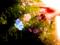 Picking Wildflowers in Meadow Early Morning Sunlight Royalty Free Stock Photography