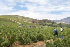 Picking Wine Royalty Free Stock Image