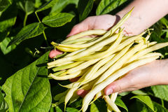 Picking yellow sprout beans on a field Royalty Free Stock Photo