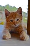 Pickins magro o gato do celeiro Imagem de Stock