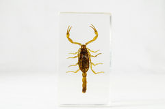 Pickled scorpion Royalty Free Stock Photography