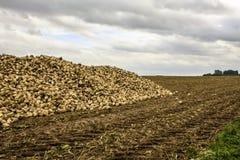 Sugar beets along the road. Stock Image