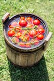 Pickled tomatoes with herbs in the wooden cask. Royalty Free Stock Photo