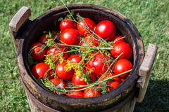 Pickled tomatoes with herbs in a wooden cask. Stock Photos