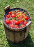 Pickled tomatoes with herbs in a wooden cask. Stock Image