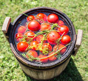 Pickled tomatoes with herbs. Stock Photography