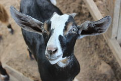 Pickles Gap Petting Zoo - Goat Royalty Free Stock Images