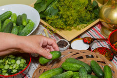 Pickling cucumbers, pickling - hands close-up, cucumber, herbs,. Pickling cucumbers, pickling - hands close-up,  Russian style. Recipes, step execution Stock Photography
