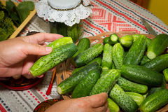 Pickling cucumbers, pickling - hands close-up, cucumber, herbs, Royalty Free Stock Photography