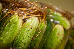 Pickling Cucumbers Stock Photos
