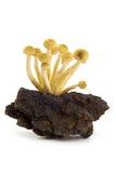 Pickly foggia a coppa la crescita su una parte di legno Immagine Stock