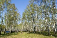 Picknick in het bosje van de berkboom Royalty-vrije Stock Afbeelding