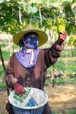 Picks green grapes Royalty Free Stock Image