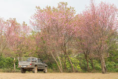 Pickup Truck under Wild Himalayan Cherry Tree in Phu Lom Lo Thailand. Pickup Truck under Wild Himalayan Cherry Tree Royalty Free Stock Photo
