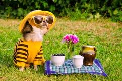 picnic κήπων σκυλιών chihuahua στοκ φωτογραφία με δικαίωμα ελεύθερης χρήσης