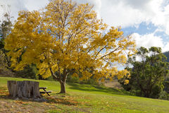Picnic area. A picnic table beside a Golden Ash tree at Risdon Brook Dam, Tasmania Royalty Free Stock Photography