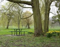 A picnic area in a field with trees and daffodils. Royalty Free Stock Images