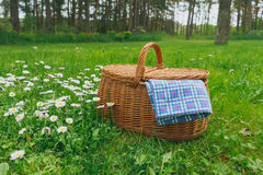 Picnic basket and blue white checkered napkin on lawn with daisy. Flowers. Weekend break concept Stock Image