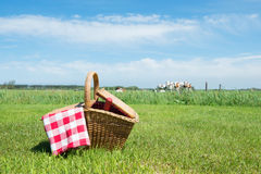 Picnic basket in the country. Picnic basket in grass outdoor in front of livestock cows Stock Photos
