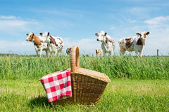 Picnic basket in the country. Picnic basket in grass outdoor in front of livestock cows Royalty Free Stock Photo