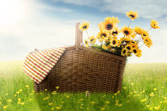 Picnic basket with fabric and sunflowers Royalty Free Stock Image