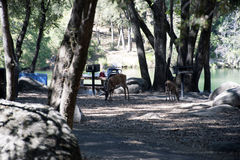 Picnic Deer. Picnicking Deer at Whiskeytown National Recreation Area, California. Doe Deer with Fawn raiding a picnic area at the lake beach park stock images