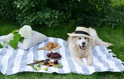 Picnic with Dog Golden Retriever Labrador Instagram Style Food Fruit Bakery Berries Green Grass. Summer Time Rest Background Sunlight royalty free stock photography