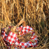 Picnic in field Royalty Free Stock Photography