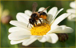 Picnic lunch. A bee feeds on pollen from a daisy Royalty Free Stock Photo