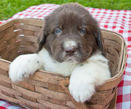 Picnic Puppy Royalty Free Stock Photos